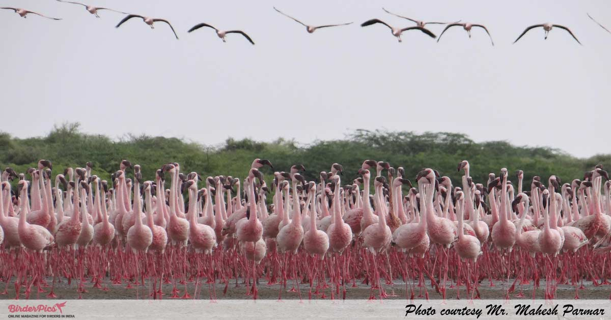 Greater-flamingos