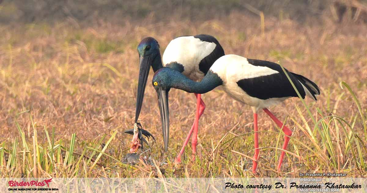 Black-necked-Stork