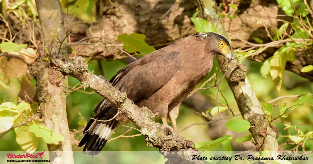 creaseted-serpent-eagle