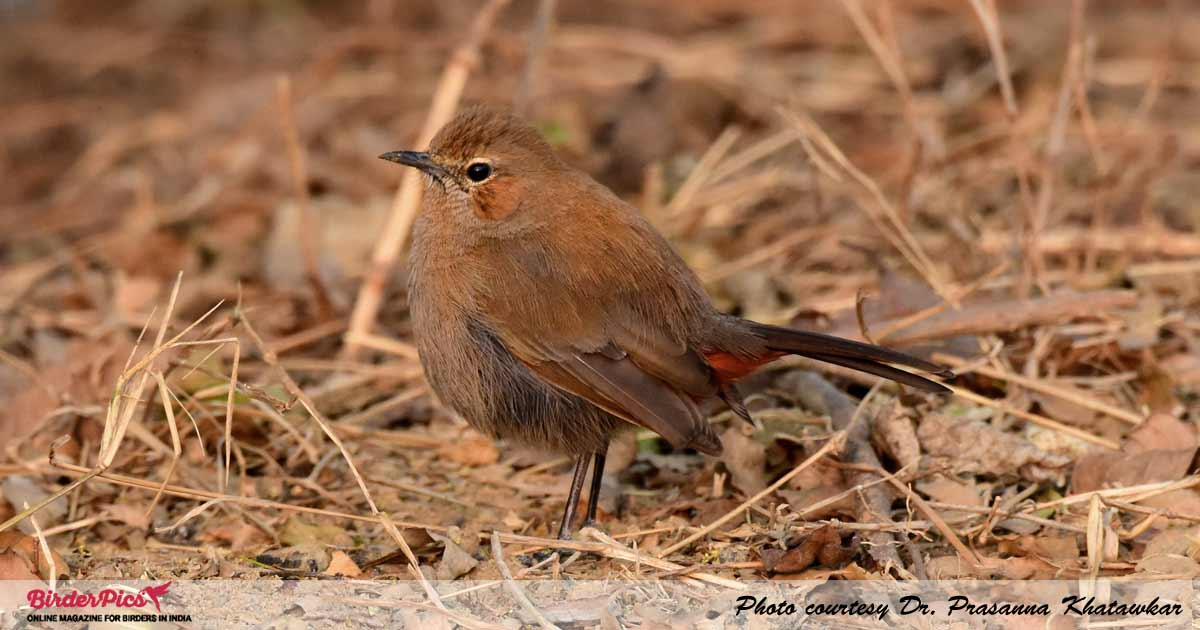 Indian-Robin