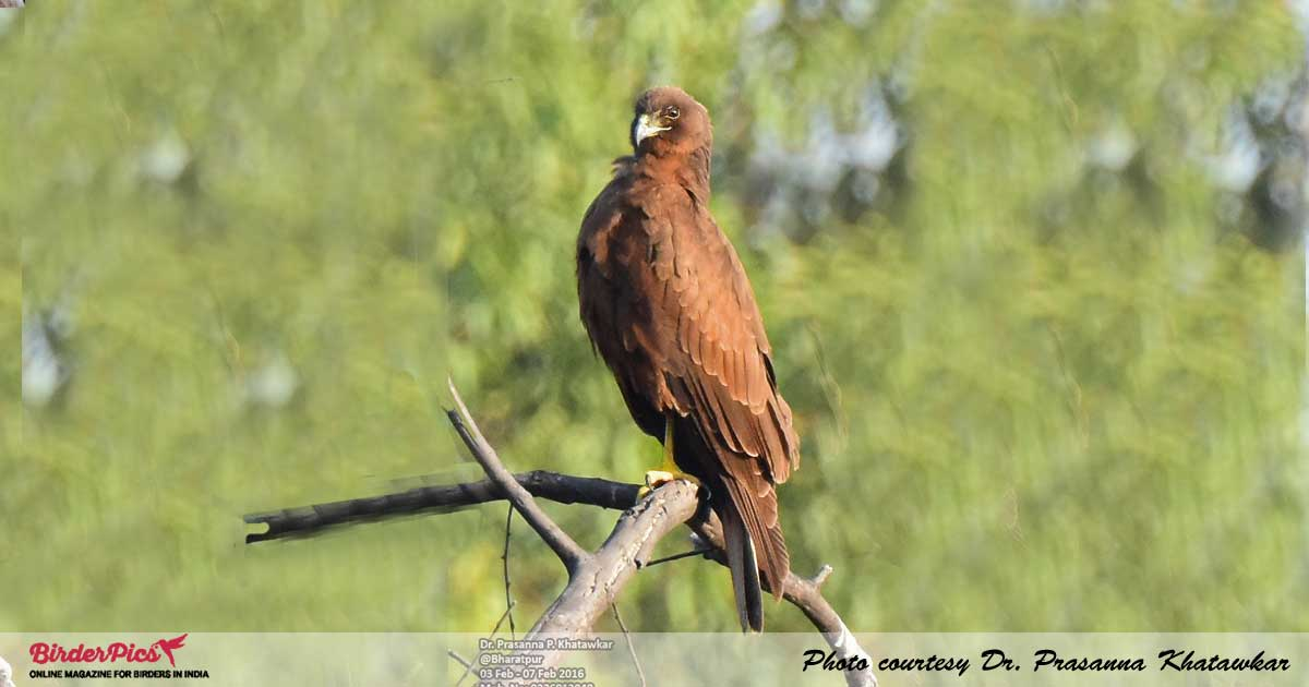 Marsh-Harrier