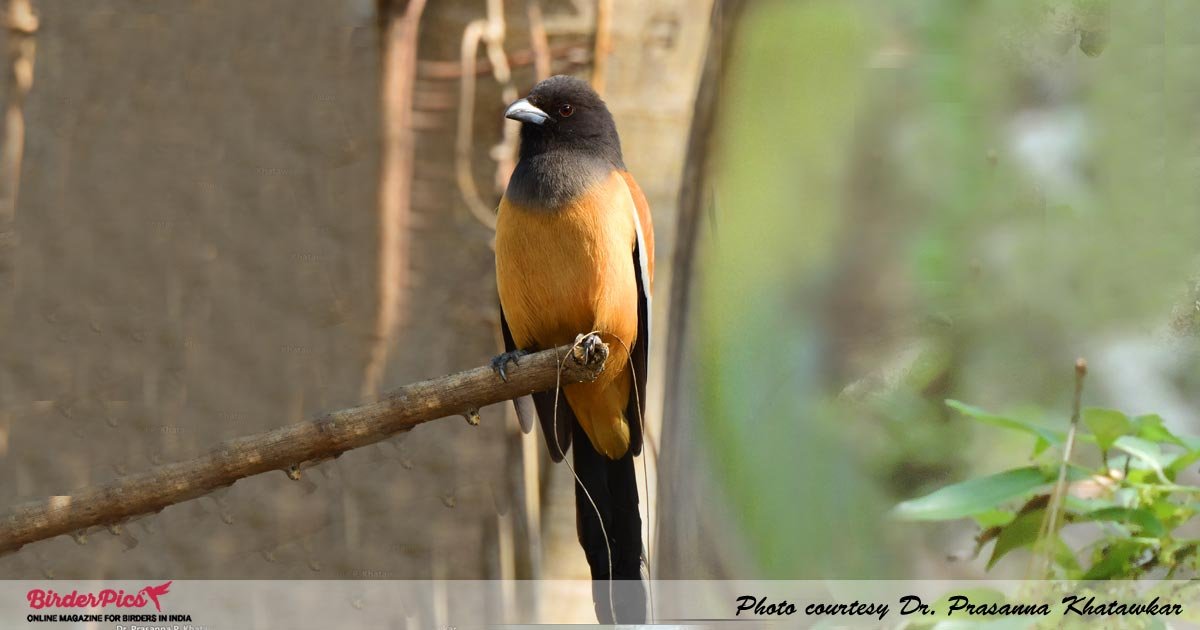 Rufous-Tree-Pie