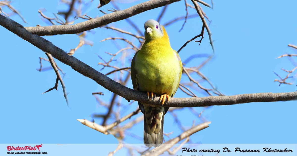 yellow-footed-green-pigeon