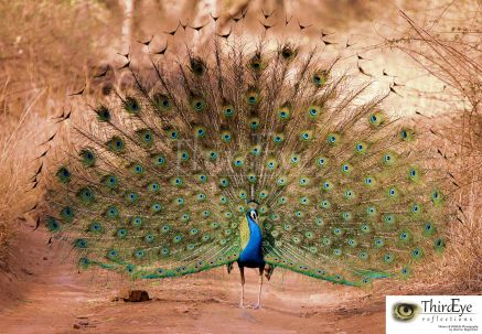 Peafowl in full bloom