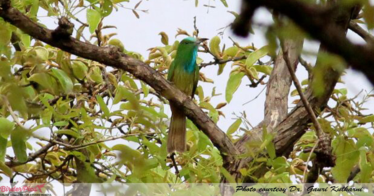 Blue-bearded-bee-eater