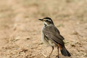 Siberian Blue Throat (Female)