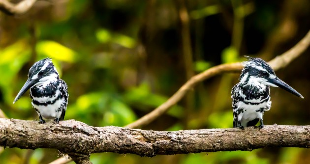 Pied-Kingfisher-pair-1