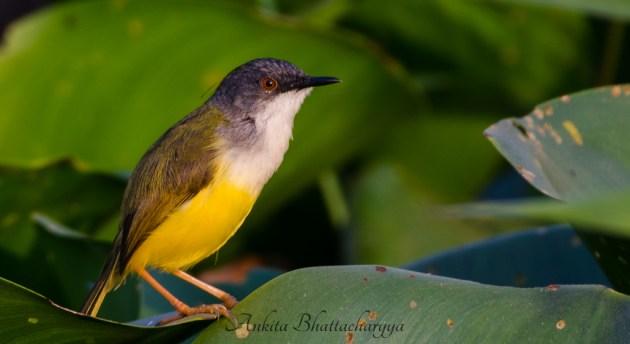 yellow-bellied-prinia