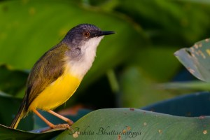 yellow-bellied-prinia