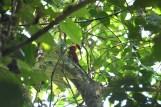 Dzięcioły z reguły nie współpracują. Dzięcioł czerwonoskrzydły - Crimson-winged Woodpecker - Picus puniceus, Borneo, sierpień 2017, Nikon D500, Nikkor 200-500 przy 500mm, F5,6, 1/125s, +1.0 EV, ISO 1800