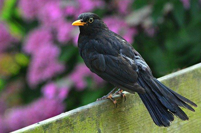 What Do Blackbirds Eat Blackbird Diet List Bird Feeder Expert