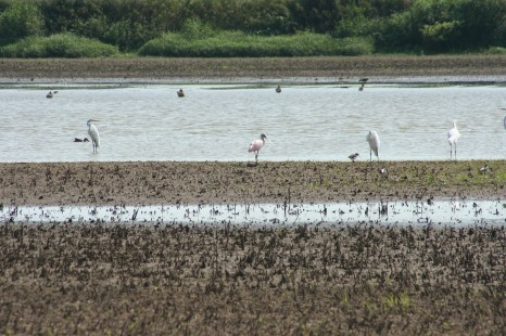 Roseate Spoonbill and friends