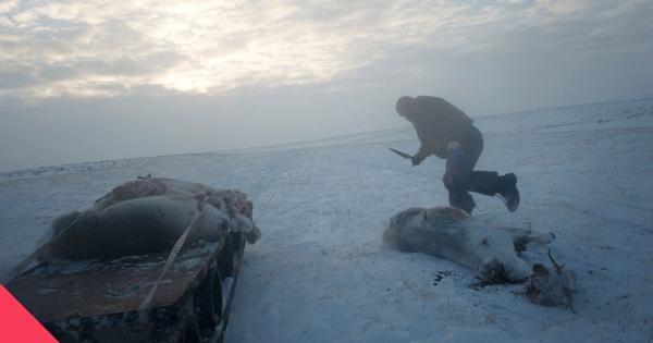 Лезут в тушу: Как устроена охота на северных оленей