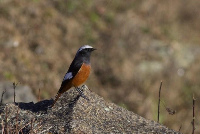 2015-10-31 Guldenstadt's Redstart male, Lingshan9