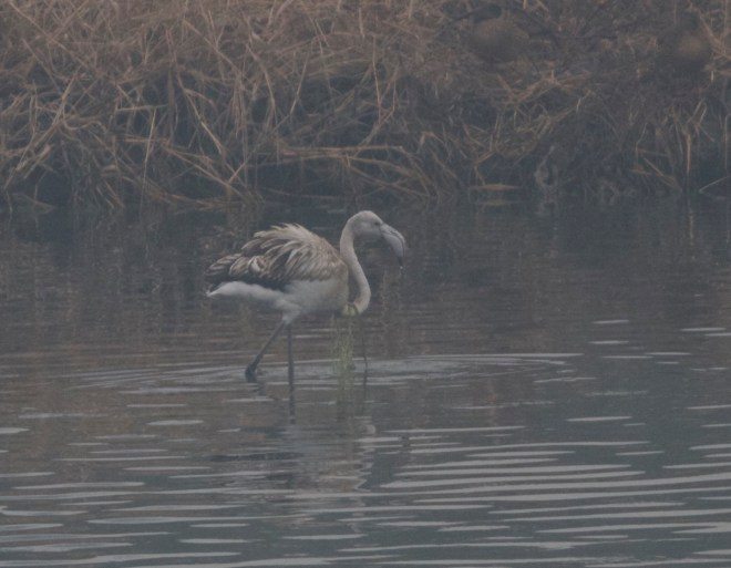 First winter GREATER FLAMINGO, Wenyu River, Beijing, 7 December 2015