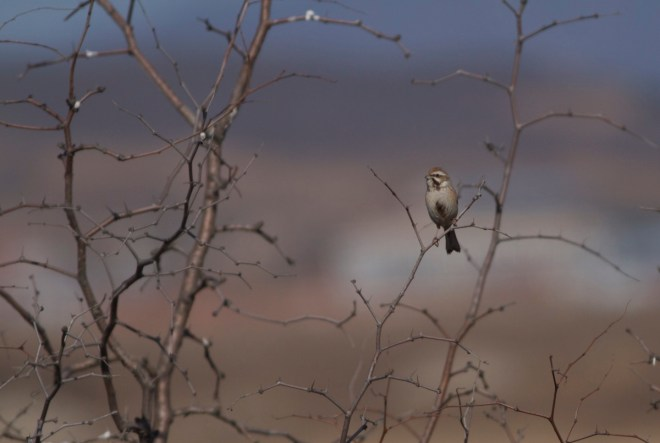 A (probably young) male JANKOWSKI'S BUNTING, Miyun Reservoir, 20 March 2016
