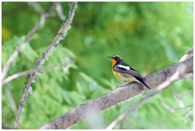 2016-05-10 Narcissus Flycatcher 1s male, Wenyu He Jian Guohao