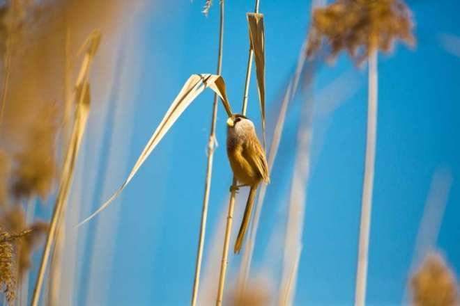 2016-12-01-reed-parrotbill-wanping-hu-by-mr-su