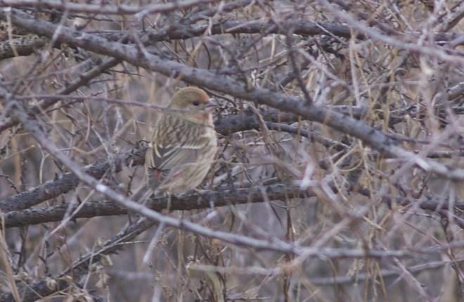2016-12-02-pallass-rosefinch-fem-imm-lingshan