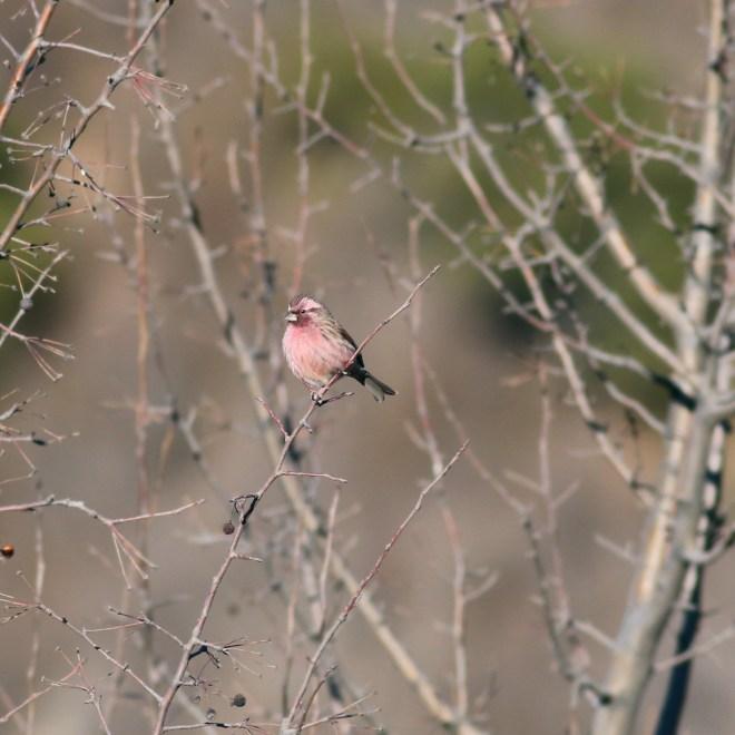 Chinese Beautiful Rosefinch, Miaofengshan. Photo by Zhao Qi.
