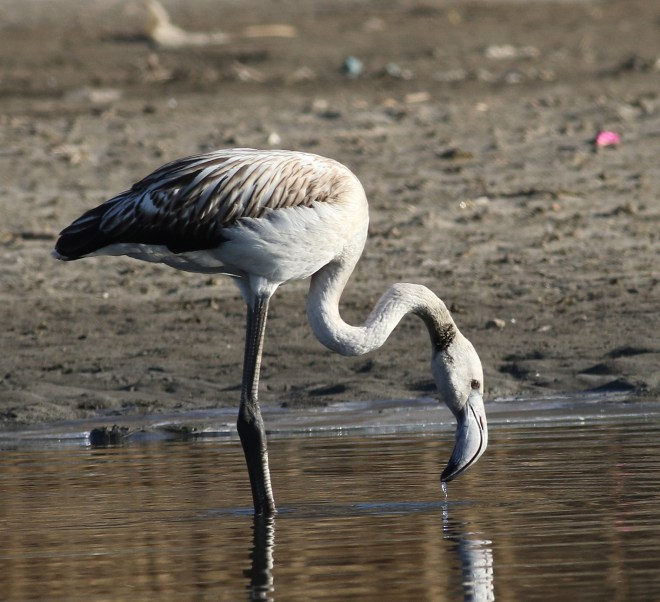 First winter GREATER FLAMINGO, Shahe Reservoir (Colm Moore)