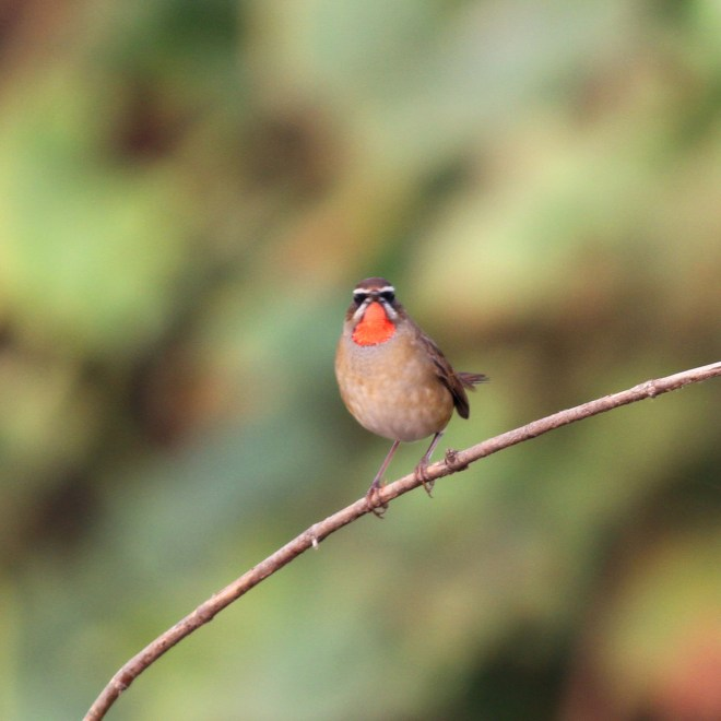 One of the 7 SIBERIAN RUBYTHROATS at Shahe on 1 October. Photo by Zhao Qi.