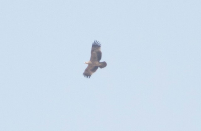 Immature Eastern Imperial Eagle, Ma Chang.