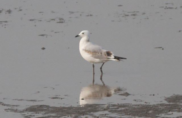 Relict Gull (first calendar year).  Note, in particular, the dark centres to the tertials, darkish legs and bill.