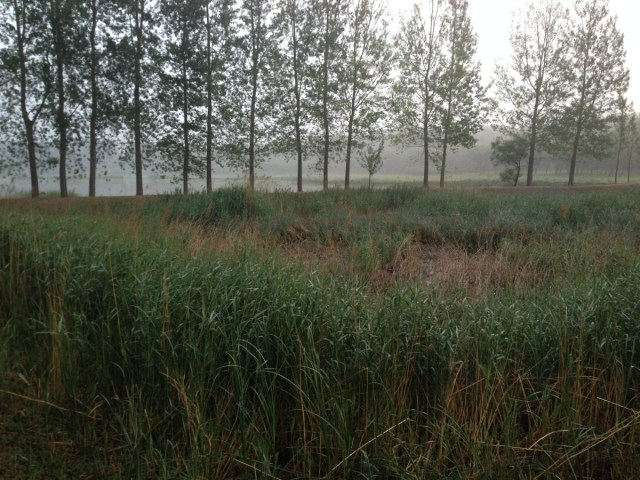 An abandoned fish pond: the site of the STREAKED REED WARBLER sighting in Beijing on Sunday 15th June 2014.