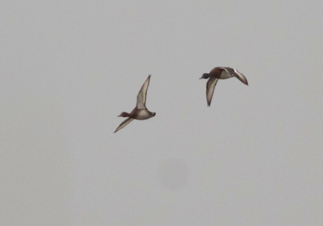 BAER'S POCHARDS, Yeyahu NR, Beijing, 12 October 2013