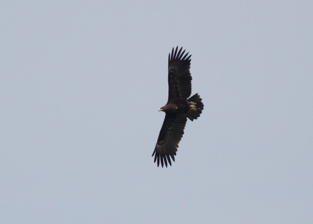 GREATER SPOTTED EAGLE, Yeyahu NR, 6 April 2014