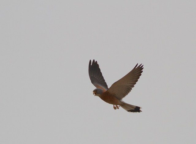 One of the adult male LESSER KESTRELS at Miyun, 3 May 2014