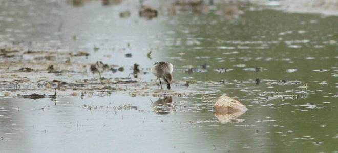 Juvenile SPOON-BILLED SANDPIPER, Ma Chang, Yeyahu, Beijing, 31 August 2014.  Photo by Zhang Minhao.