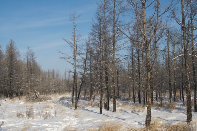 2014-12-22 Hawk Owl habitat, Wuerqihan, Inner Mongolia