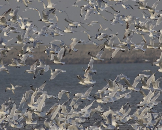 2015-03-25 Relict Gull flock, Tianjin
