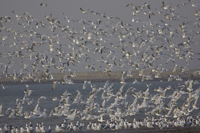2015-03-26 Relict Gull flock4, Tianjin