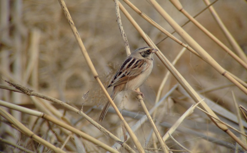Japanese Reed Bunting
