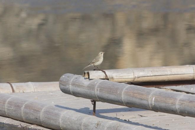 2012-02-11 Water Pipit ssp blakistoni