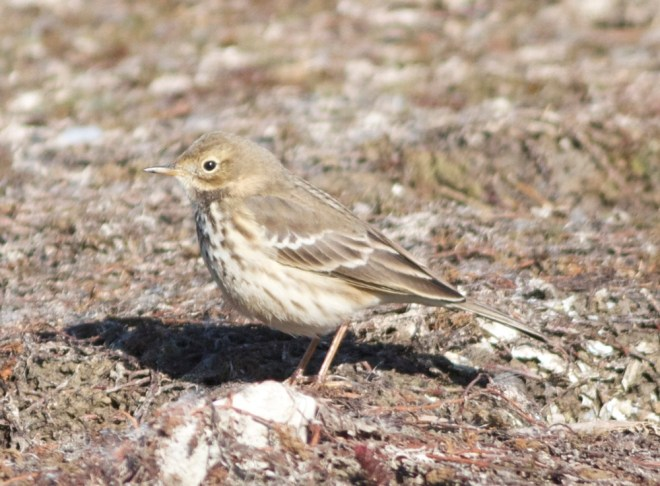 2012-10-17 Buff-bellied Pipit ssp japonicus, Ma Chang