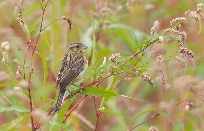 2015-09-01 Yellow-breasted Bunting, Miyun3