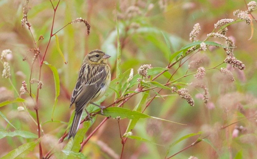 Yellow-breasted Bunting bucks the trend in Beijing!