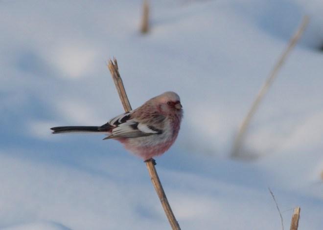 2014-12-22 Long-tailed Rosefinch male2, Wuerqihan, Inner Mongolia