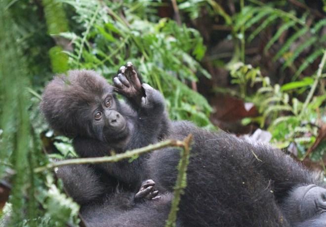 2015-11-15 Mountain Gorilla baby waving, Bwindi, Uganda