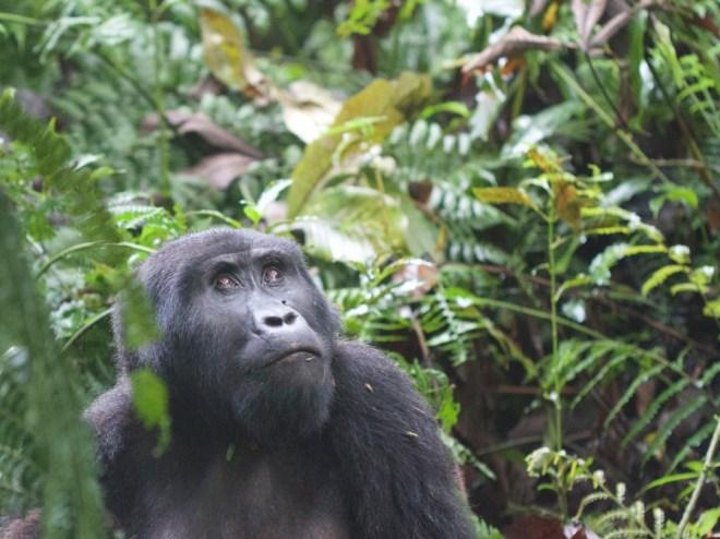 2015-11-15 Mountain Gorilla female, Bwindi, Uganda