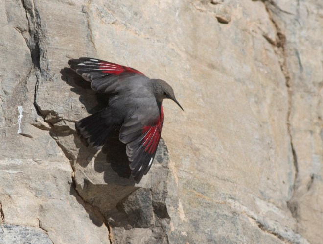 2014-01-12 Wallcreeper