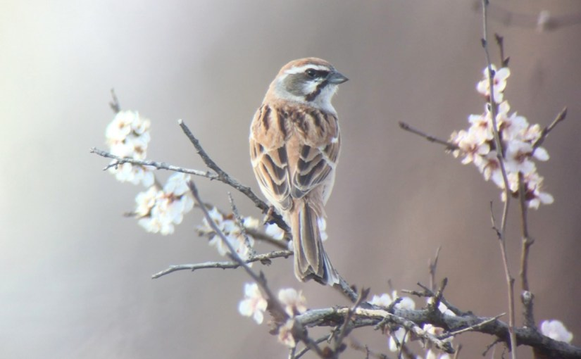 JANKOWSKI'S BUNTING: Good News From Inner Mongolia!