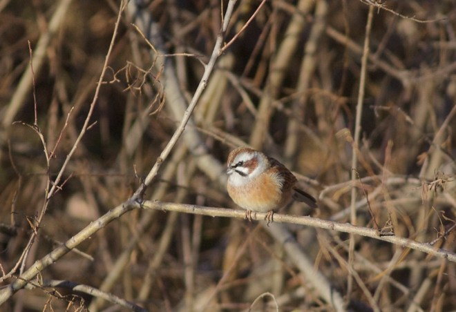 The pretty Meadow Bunting is a resident in the hills around Beijing and is commonly encountered during visits to the Great Wall.