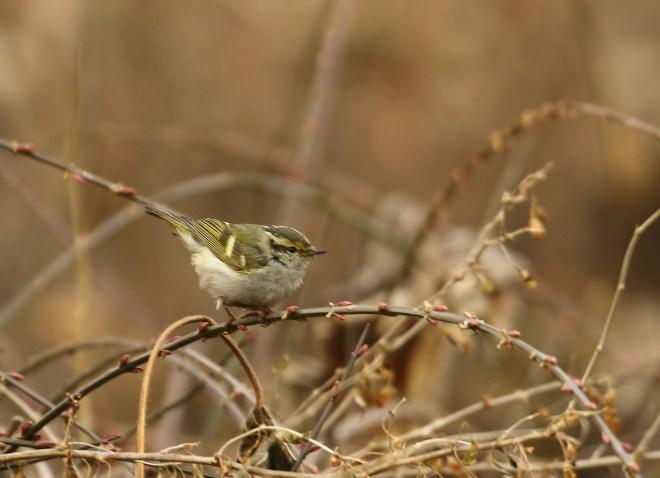2017-01-24-pallass-leaf-warbler-pku-zhang-yong