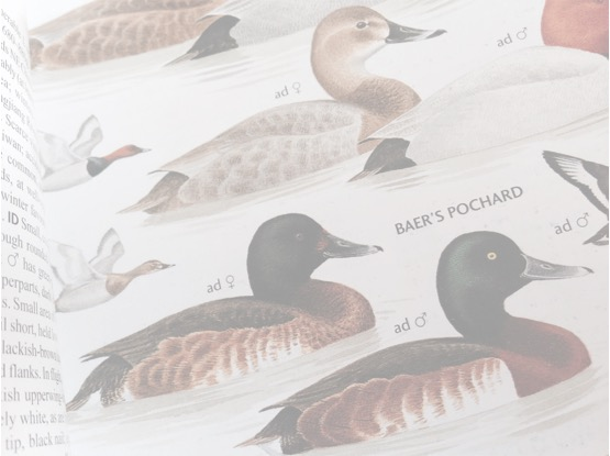 Baer's Pochard: Cause For Optimism?