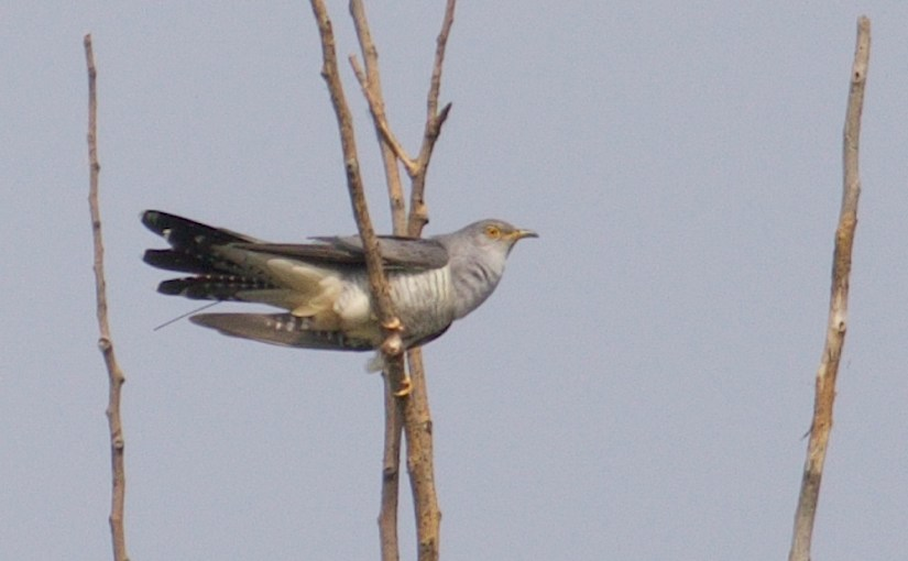 After 12 Months, And Almost 27,000km, The First Beijing Cuckoo Is Back!